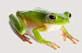 FrogA