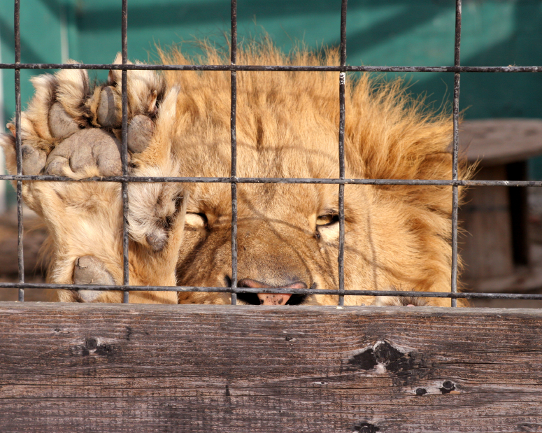 caged_lion