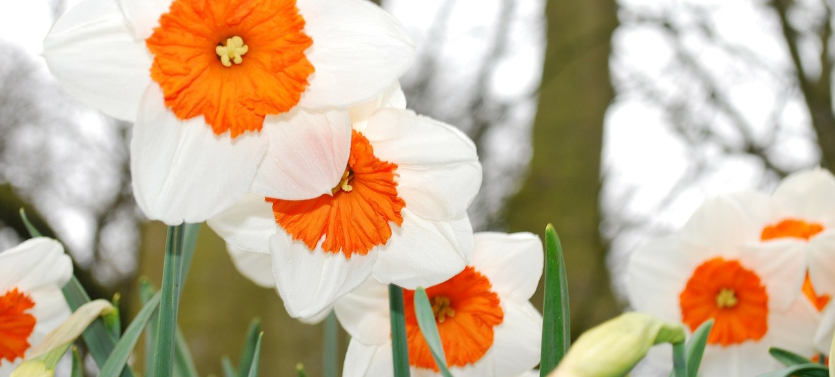 daffodils-1.jpg